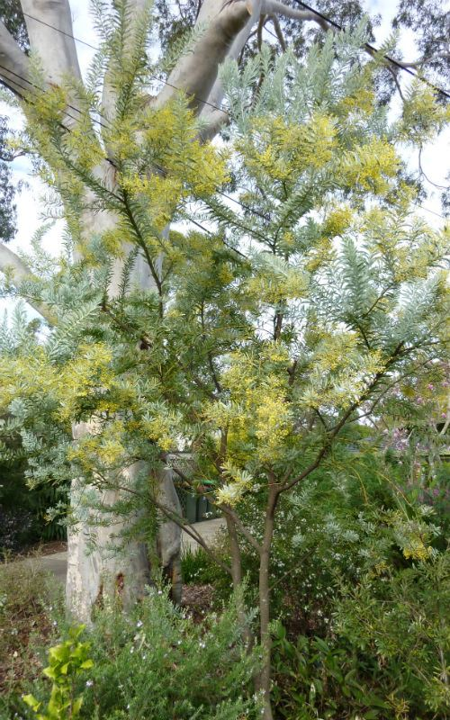 Australian Plants Society Nsw Acacia Covenyi Blue Bush 2