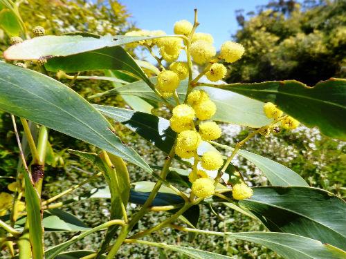 Australian Plants Society Nsw Acacia Pycnantha Golden Wattle