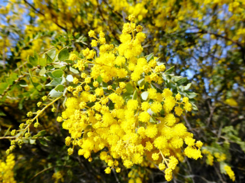 Acacia vestita Weeping Boree