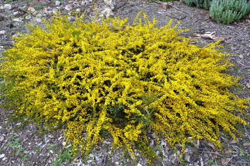 Acacia amblygona 'Winter Gold'