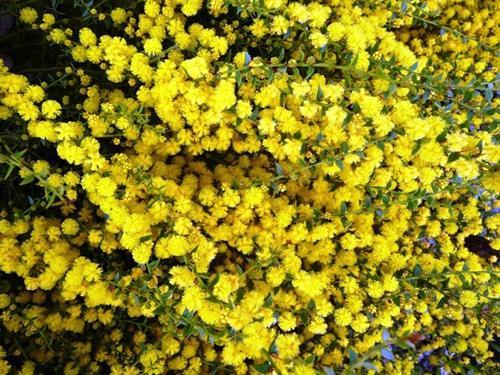 Australian Plants Society NSW - Plant database Shrubs