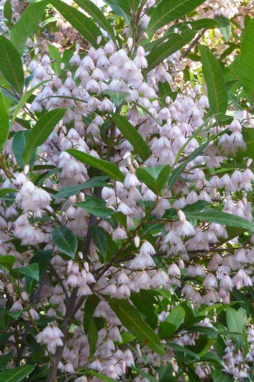 Australian Plants Society NSW - Elaeocarpus reticulatus