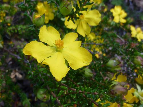 Australian plants society nsw hibbertia vestita hairy guinea flower hibbertia vestita hairy guinea flower mightylinksfo