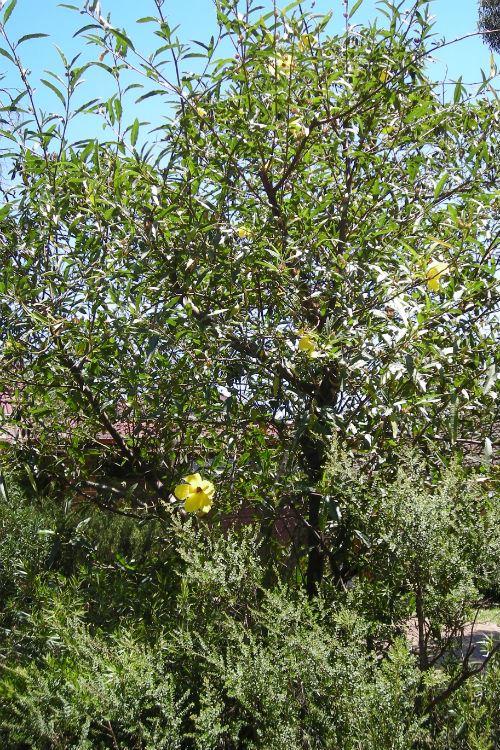 Australian Plants Society Nsw Hibiscus Divaricatus Golden Haze