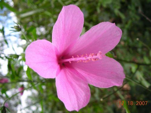 Australian Plants Society Nsw Hibiscus Geranioides Geranium Leaf