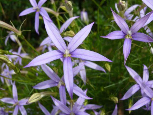 Australian Plants Society NSW - Isotoma axillaris, Rock Isotome ...