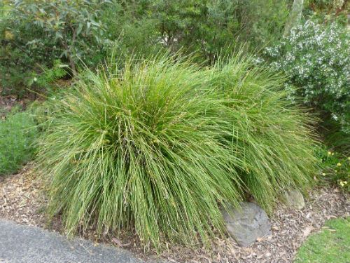 Australian plants society nsw plant database for Spiky ornamental grass