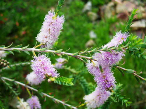 Melaleuca decussata Cross-leaved Honey-myrtle