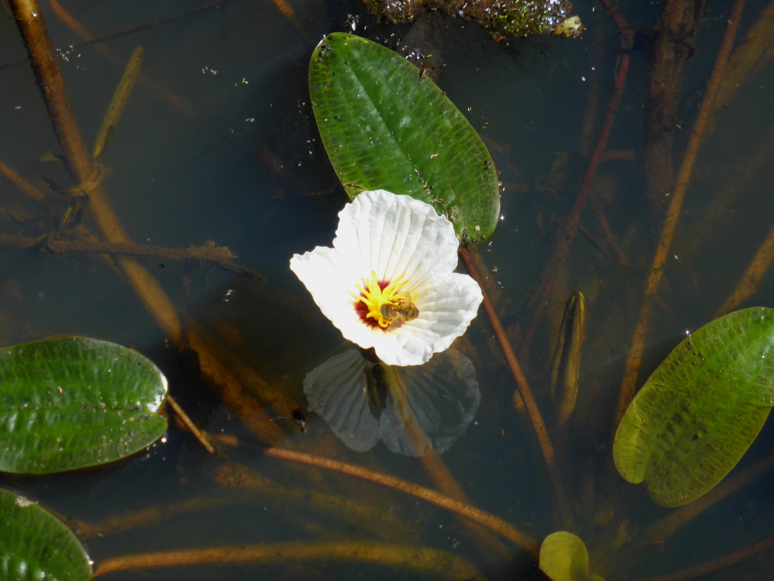 Australian plants society nsw ottelia ovalifolia swamp lily ottelia ovalifolia swamp lily is a tufted aquatic perennial with floating and submerged leaves and flowers the visible leaves are strap like izmirmasajfo