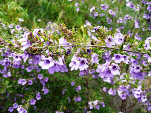 Prostanthera 'Ragged Robin'