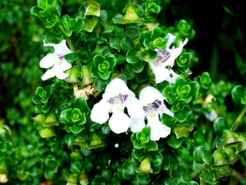 Prostanthera cuneata Alpine Mint Bush