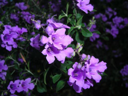 Australian Plants Society Nsw Prostanthera Ovalifolia