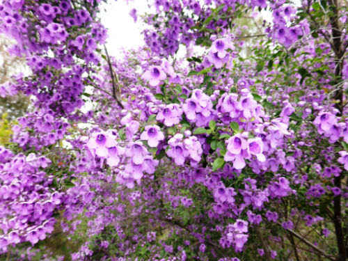Prostanthera ovalifolia Oval-leaved Mint Bush