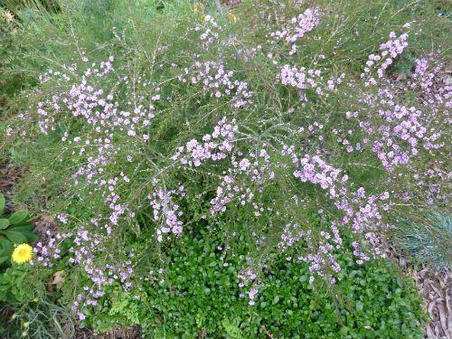 Australian Plants Society Nsw Thryptomene Baeckeacea