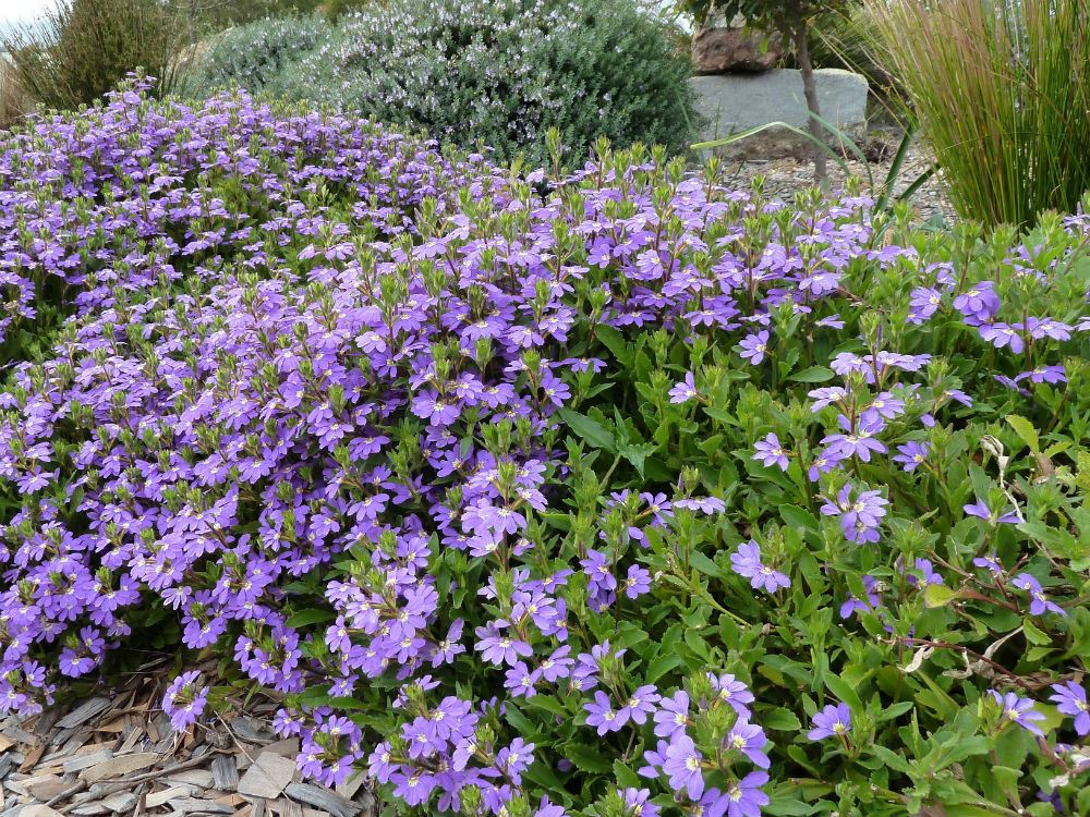 Australian Plants Society Nsw Ground Cover Profiles