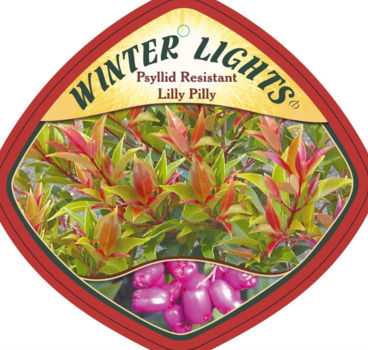 Syzygium 'Winter Lights'